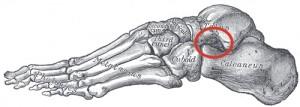 sinus tarsi foot bones
