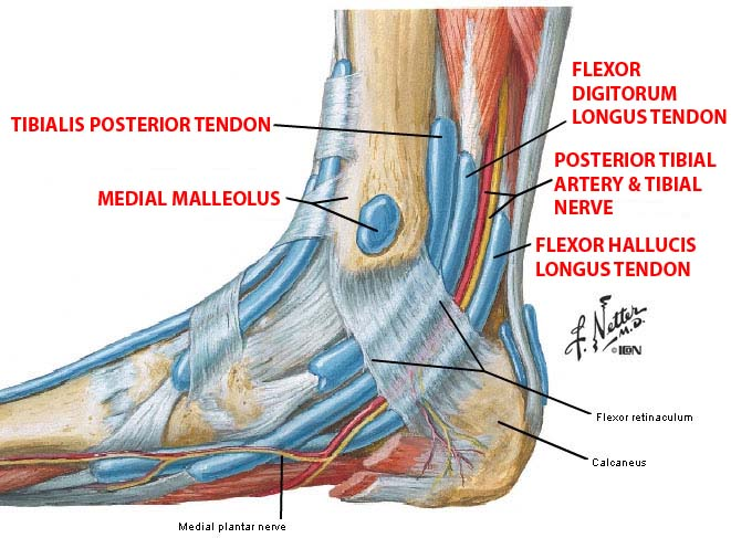 Medial Malleolus Definition | Prephockey.org - 86.8KB