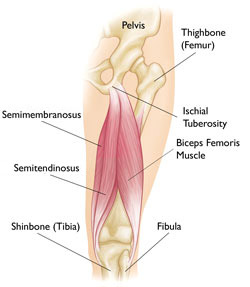 Biceps Femoris anatomy